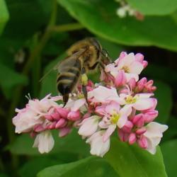 гречишный мед полезные свойства