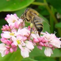 пчеловодство забрус