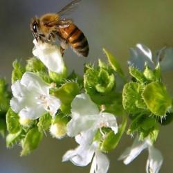 чернокленовый мед польза