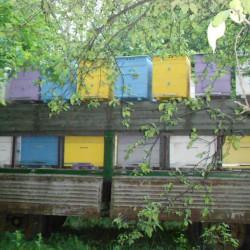 Пчелы на черноклене 2016год