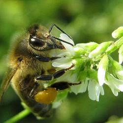 мед донник полезные свойства